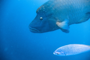 Wally the Humphead Wrasse, Great Barrier Reef, Queensland, Australia