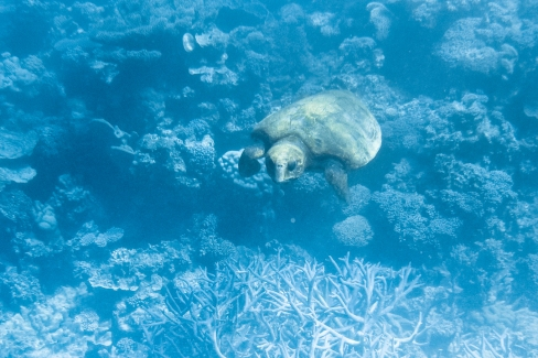 Loggerhead sea turtle in Ningaloo Reef, Western Australia