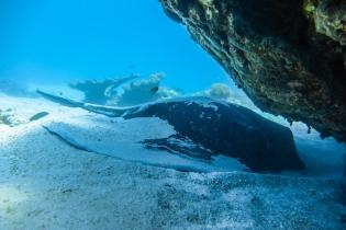 Ray's in Ningaloo Reef, Western Australia, Australia